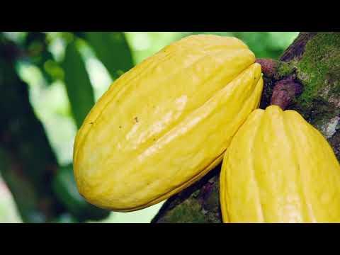 Le meilleur insecticide Cacao