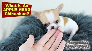 Apple Head Chihuahua vs Deer Head - What's The Difference?   Sweetie Pie Pets