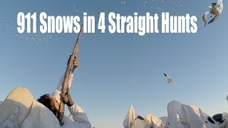 Alberta Spring Snow Goose Hunting with Claudio Ongaro : 911 Birds in 4 Hunts
