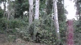 Inhambu-preto / Cinereous Tinamou (Crypturellus cinereus)