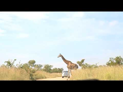 Giraf crossing at Kruger Park