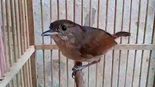 Burung Flamboyan Gacor Ngebren Rapat width=