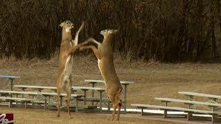 Watch Deer Battle
