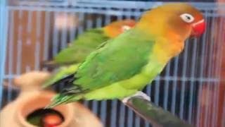Fischer`S Lovebirds Wonderful Pets