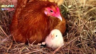 Baby Chickens Sound Effect #12