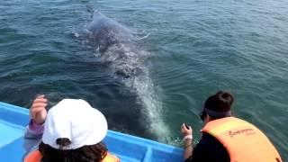 Whales of San Ignacio
