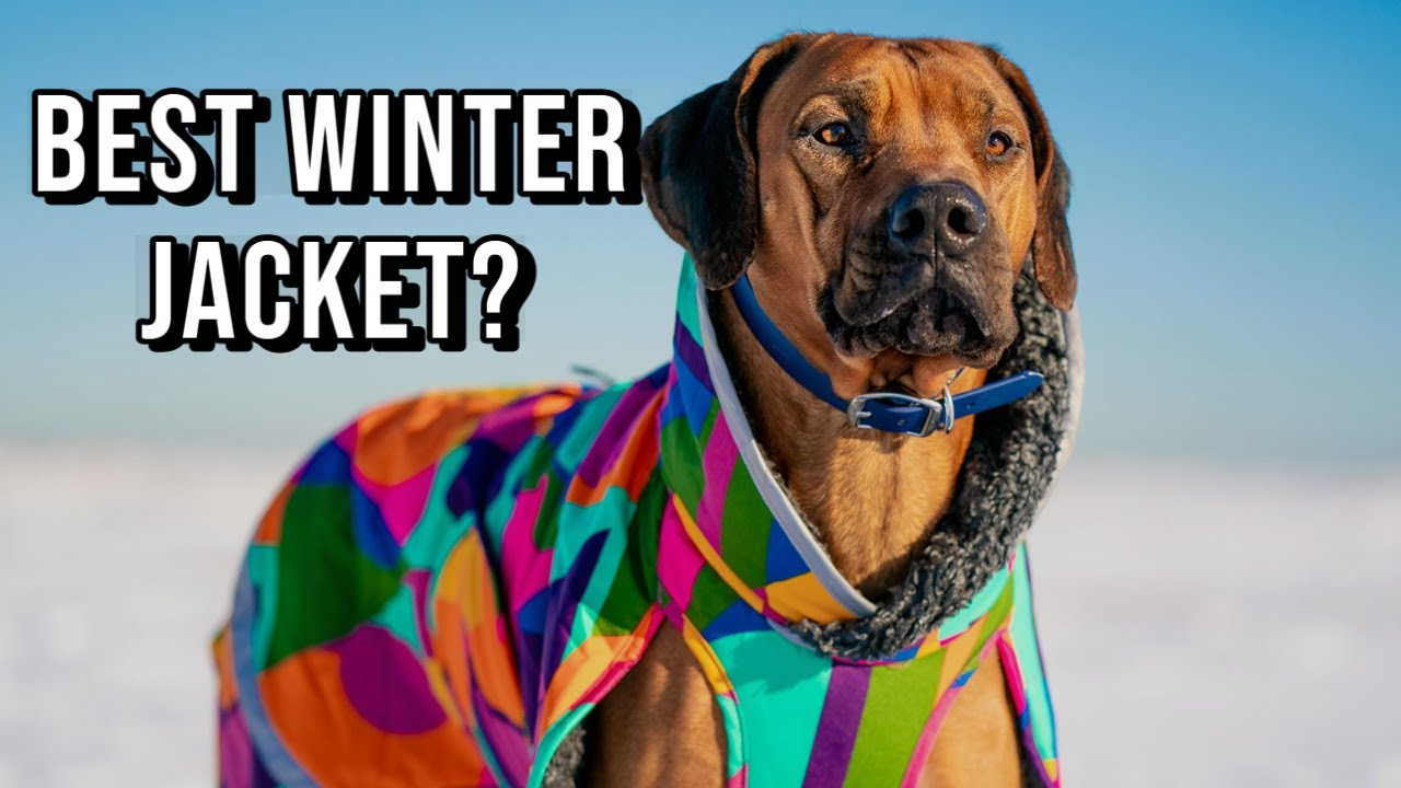 What's the Best Winter Coat for Rhodesian Ridgebacks? Video Thumbnail