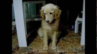 Cachorro sonolento (muito engraçado)