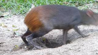 fauna brasileira CUTIA ESPERTA animais brazilian pantaneira pantanal vida selvagem roedor silvestre