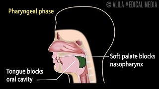 Swallowing Reflex, Phases and Overview of Neural Control, Animation.