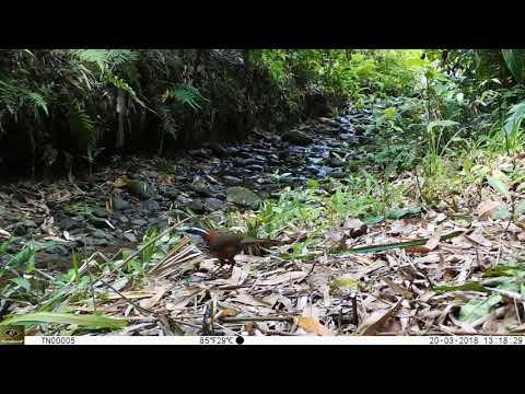 龍崎牛埔自然生態之美 2-9 小彎嘴畫眉