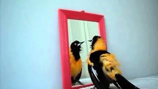 Corrupião no espelho.