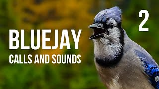 Blue Jay calls and sounds Part 2
