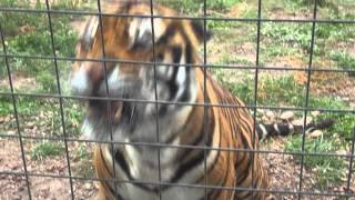 What does a Bengal Tiger say?