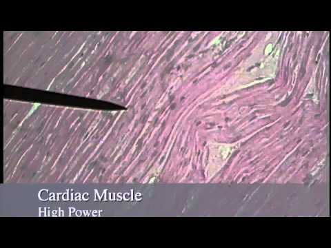 Muscle Histology.mov