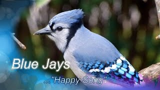 Blue Jay Happy Song