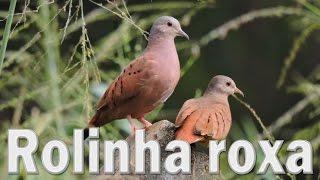 Rolinha roxa cantando ao vivo em HQ para os amantes da espécie !!!
