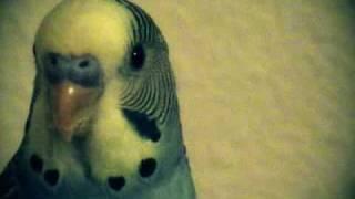 Parakeet Kung Fu Fighting