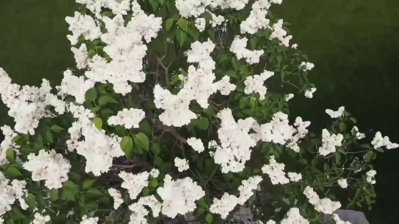 In full blooming