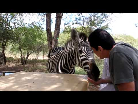 Zebra's lunch
