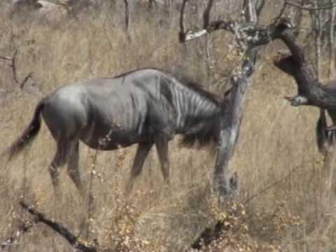 Bawoły w Parku Krugera
