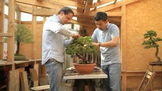 Bonsai Styling - Juniperus Chinensis - Falko Hamann feat. Viet Luan Tran