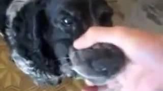 Funny Angry Dog Song