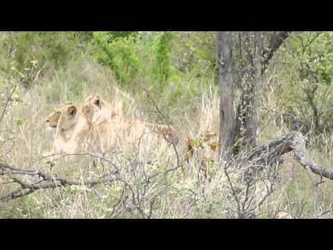 South Africa 2012 – Closeup Lions at Kruger National Park