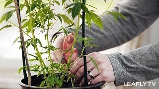 Homegrown Episode 4 - How to Increase Your Cannabis Plant's Yield