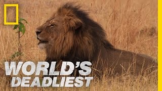 Lethal Lioness Pride | World's Deadliest