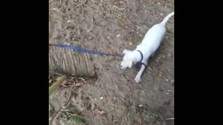 Baby pitbull doesn't like rake