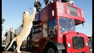 "Tiger largest in the world ""super cat"" - Maior Leão tigre  do mundo"