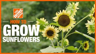 A video outlining how to plant and grow sunflowers.