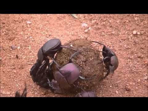 Dung Beetles Fighting @ Balule Game Reserve