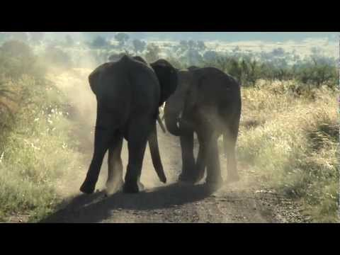 Two bull elephants fighting in Pilanesberg National Park