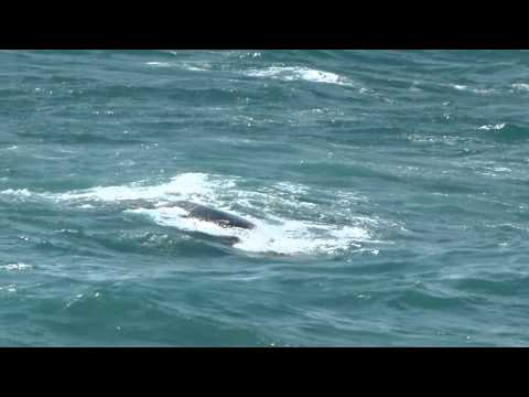 Southern Right Whale off the coast of South Africa.m2ts