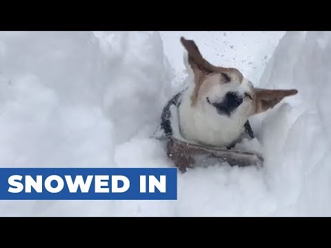Dogs Get Lost Under Thick Layer of Snow
