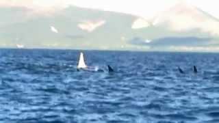 Raríssima Orca branca adulta é vista 'pela primeira vez' na natureza