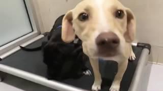 LIVE: Adoptable Puppies Makota & Moana Rescued From Hurricane Maria | The Dodo