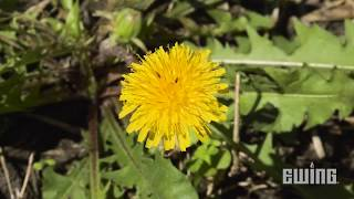 Weed Management For Landscapes - Dandelions