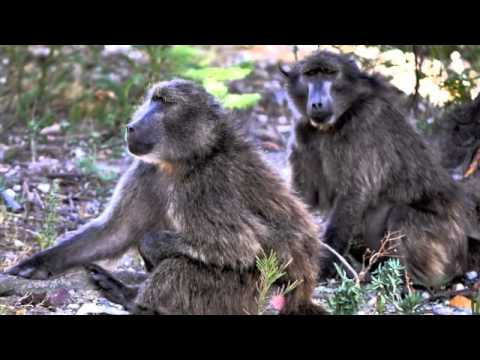 Baboons of Franschhoek Valley in the South African wine country.