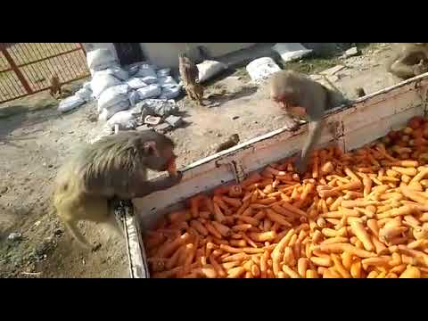 Monkey Feeding in Ayodhya