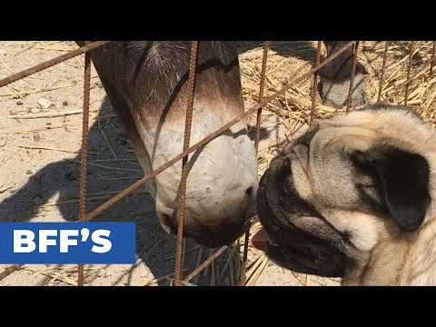 Pet Pug Curious about Donkey
