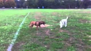Pit bull running
