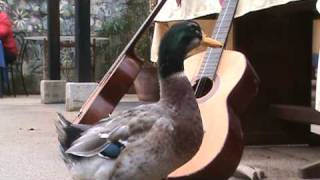 CRAZY DUCK - DUCK THAT BITES - DUCK THAT ITCHES - PATO LOCO
