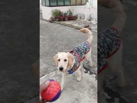 dog training    fetch and leave command    Golden retriever dog  training