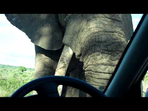Very Close encounter (almost attack) with elephant at Kruger park South Africa