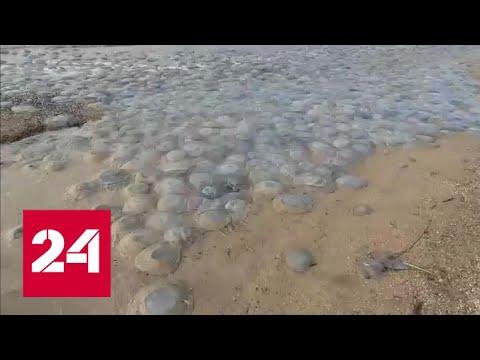 Черноморское и Азовское побережья оказались во власти медуз