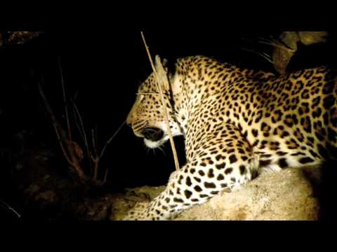 Safari 2011: Big cats at night