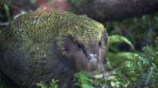 Kākāpō chicks visit Manapōuri to launch partnership